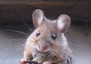 cutest-mouse-photo-01